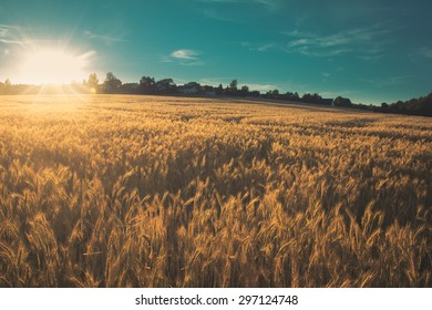Landscape picture of a wheat field with the setting evening sun in the backdrop with flares with aqua sky scattered with clouds with hilly horizon