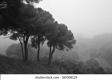 Landscape in a pine forest with fog.