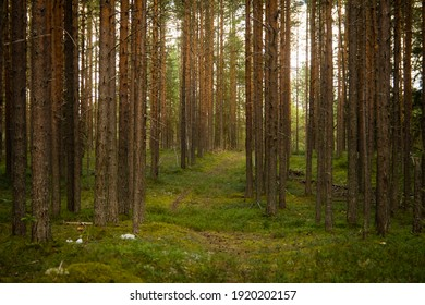 landscape in a pine forest, selective focus