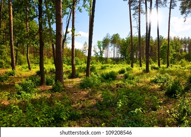 Landscape with pine forest and sunbeams