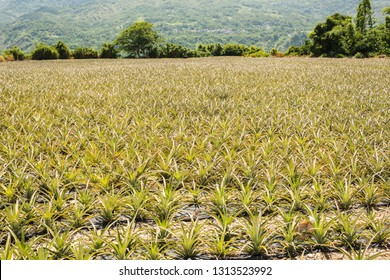 landscape of pineapple farm with nobody in daytime
