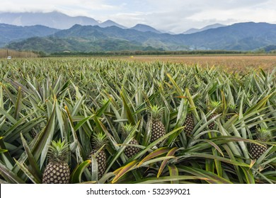 Landscape of Pineapple Plantation in Pingtung ,Taiwan