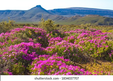Landscape of pink wildflowers against green mountains in Tankwa Karoo, Northern Cape, South Africa