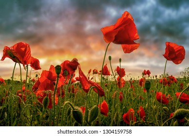 Landscape with poppies in Jutland, Denmark at sunset
