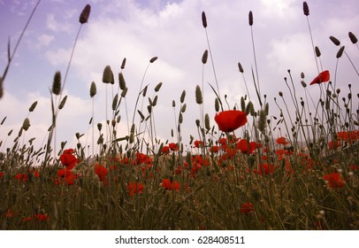 Landscape with Poppies. Poppy any of a genus of chiefly annual or perennial herbs with milky juice, showy regular flowers, and capsular fruits.