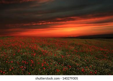 Landscape with poppy field in sunset.