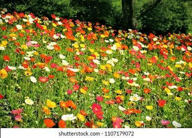 Yellow poppies images stock photos vectors shutterstock landscape of poppy flowers field mightylinksfo