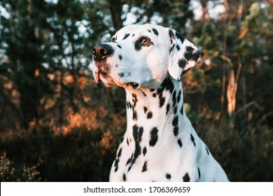 Landscape portrait of cute dalmatian dog with black spots standing in forest during sunset. Smiling purebred dalmatian pet from 101 dalmatian movie