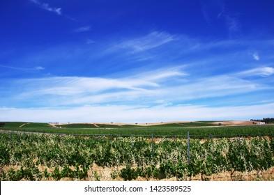 Landscape of portuguese vineyard, alentejo region