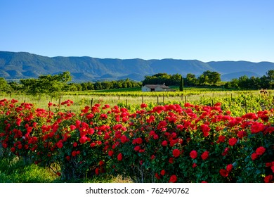 Landscape of Provence, France in the spring. The vines, the small country house, the rosebush in the foreground. Mountain Massif of the Luberon.