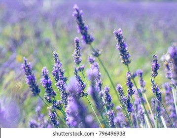 Landscape of Provence - lavanda flowers in pastel colors of ultraviolet  and fresh green tones. Violet lavender field with sunlight and blur effect for your floral background.