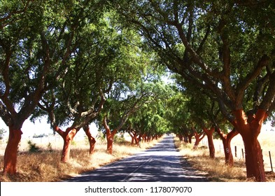 landscape of Quercus suber - cork tree, near old road
