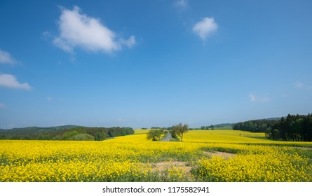landscape with rape fields in the summer