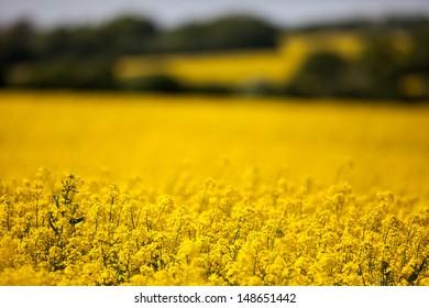 Landscape of Rape Seed Flowers