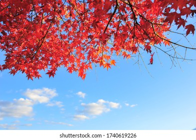 Landscape of Red Maple Leaves with Blue Sky Background