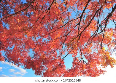 Landscape of Red Maple Tree and Beautiful Light in Autumn of Japan