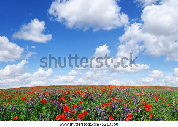 Landscape - Red poppies on spring meadow, the blue sky and white clouds