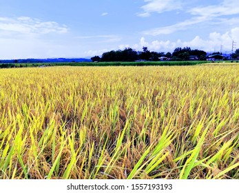 landscape with rice and blue sky