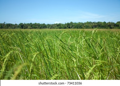 Landscape of rice field