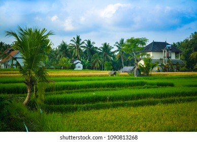 Landscape of a rice field late afternoon with gradient green and yellow color