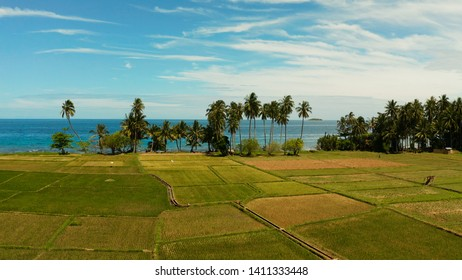 Landscape with rice field and palm trees by the sea. Rice plantations on Camiguin Island, Philippines, aerial view.