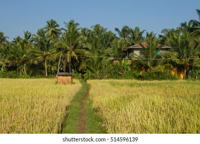 Landscape with rice field and palm trees