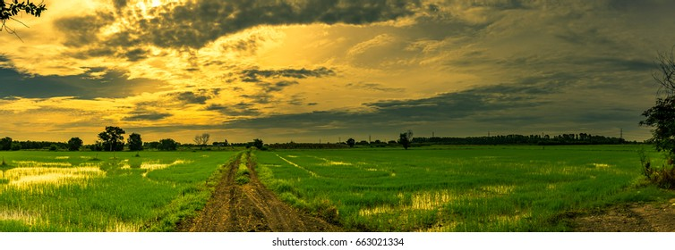 Landscape of rice field and sky during sunset in summer,Panorama