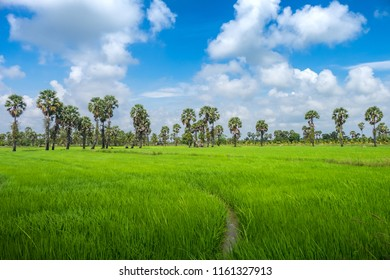 Landscape of rice field in southern area in Thailand. Rice is a main agriculture of the country.