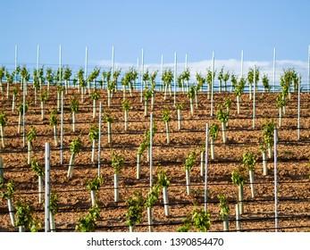 Paisaje de la cultura rural en el viñedo espalier en primavera en la denominación de origen Ribera del Duero, España