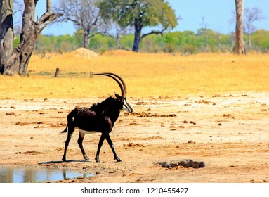Landscape of a sable antelope on the african plains with a treelined and blue sky background in Hwange National Park, Zimbabwe
