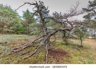 Landscape with sand drift and dead moss-covered rough pine at Boveneinde in Kootwijk on the Veluwe in the Dutch province of Gelderland
