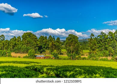 Landscape scene of local small holding farm, Lessos, Nandi Hills, Kenya, Africa. Foreground crop is tea. Background are maize and timber. Copy space.