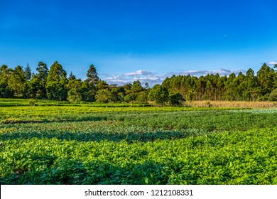 Landscape scene of local small holding farm, Lessos, Nandi Hills, Kenya, Africa. Foreground crop is local greens. Background are potatoes, cabbages, tea, maize and timber. Copy space.