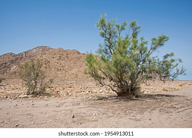 Landscape scenic view of desolate barren eastern desert in Egypt with lone acacia tree and mountains