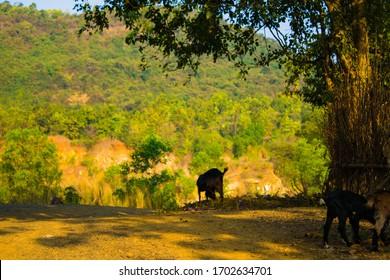 landscape Shot of a grazing goat