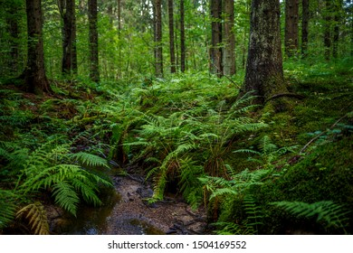 Landscape with a small stream in the coniferous forest. Trunks of spruce trees, fern leaves and moss.