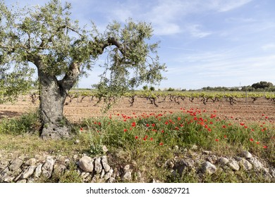 Landscape, spring day,field with vineyards in Penedes wine region, Catalonia,Spain.