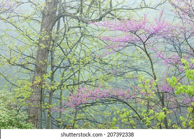 Landscape of a spring forest in fog with redbud in bloom, Michigan, USA