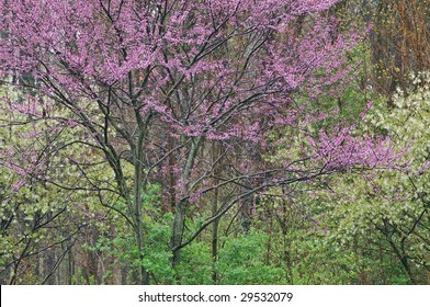 Landscape of a spring forest with redbud in bloom framed by blossoming serviceberries, Michigan