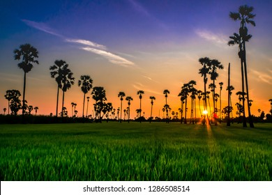 Landscape Sugar palm  trees  and Rice field with sunset  .