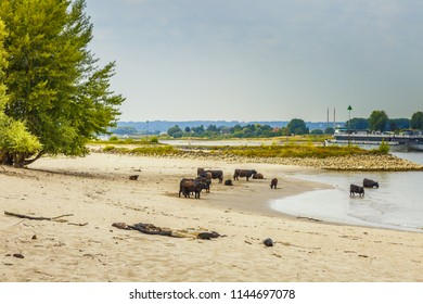 Landscape of summery riverside bank along river Waal at Millingerwaard with a herd of Galloway cattle on the river beach and large old willow trees with naked roots by washing away sand