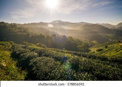 Landscape sun rise beam of tea plantation on mountain in mountain, Slope of tea terrace