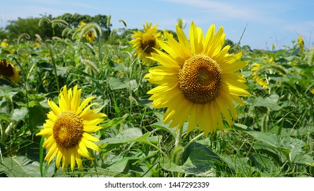 The landscape of the sunflower