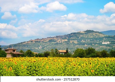 Landscape with sunflower field and town on the top of the hill. Cortona, Tuscany, Italy