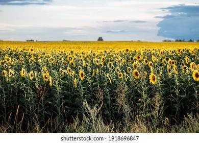 landscape of sunflowers against the blue sunset sky