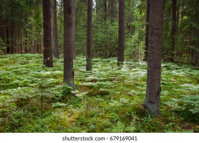 Landscape - A sunlit forest in the Knyszyn Primeval Forest