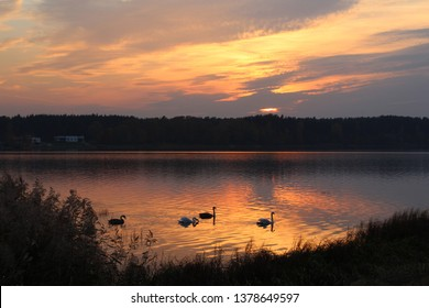 landscape with swans in the Daugava river, water reflecting the sunset with beautiful orange colours