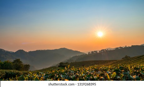 Landscape of tea farm with sun rise in the morning at Chiangrai, Thailand