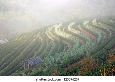 Landscape of Tea Field with fog in morning at Chiangmai Thailand.