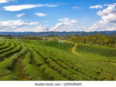 landscape tea field and springer water